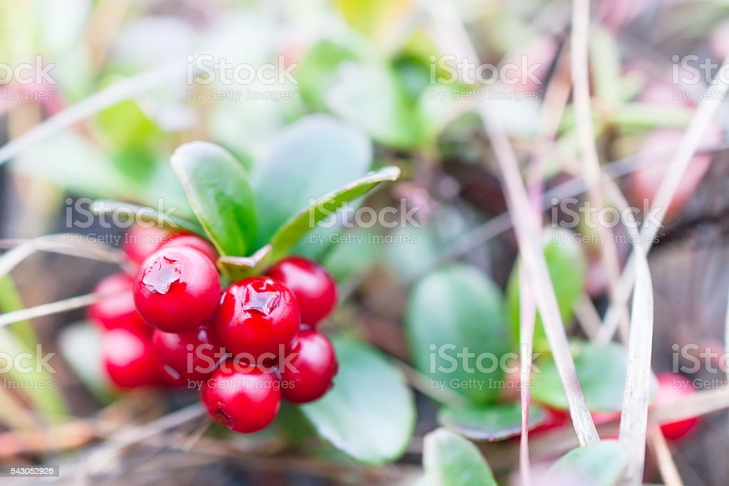 Small shrub with berries ripe cranberries. stock photo