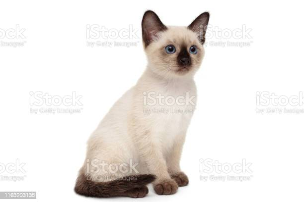 Small siamese kitten picture id1163203135?b=1&k=6&m=1163203135&s=612x612&h=ao0g2eyihlzrtkatolhe5ldiuhuixlskui8sf23dsea=
