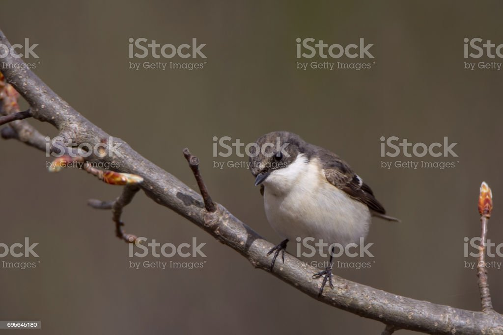 A small singing bird on a branch - Flycatcher stock photo