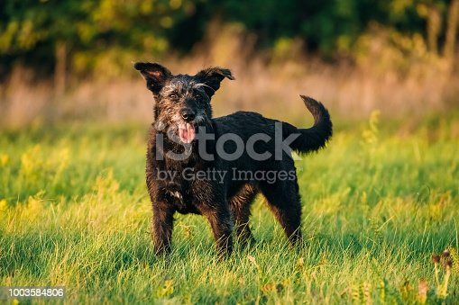 Funny Small Size Black Dog Play In Summer Sunset Sunrise Meadow Or Field