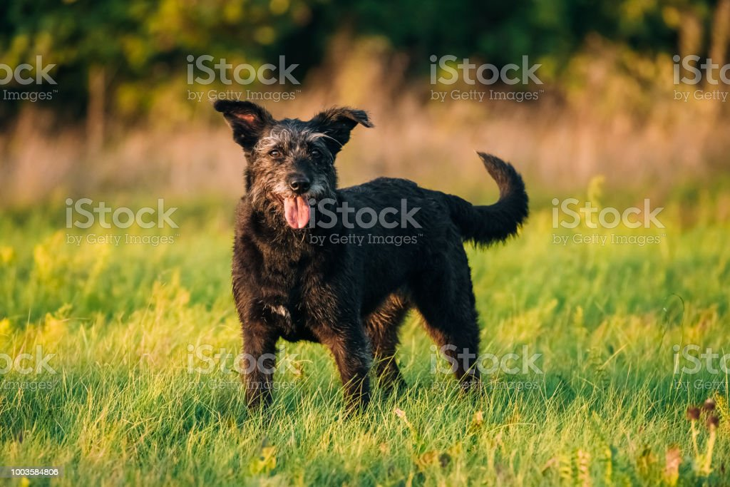 Small Size Black Dog In Summer Sunset Sunrise Meadow, Field stock photo