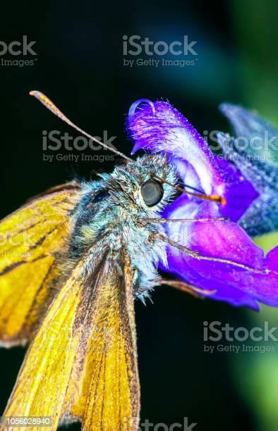 Small skipper butterfly picture id1056028940?b=1&k=6&m=1056028940&s=612x612&h=cte1 9472xuzottya3f2zvfo19kkfikm3xacxne1lmo=