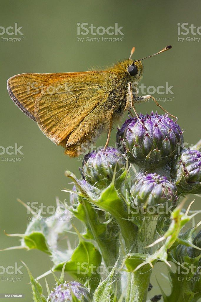Small Skipper ( Thymelicus sylvestris ) royalty-free stock photo