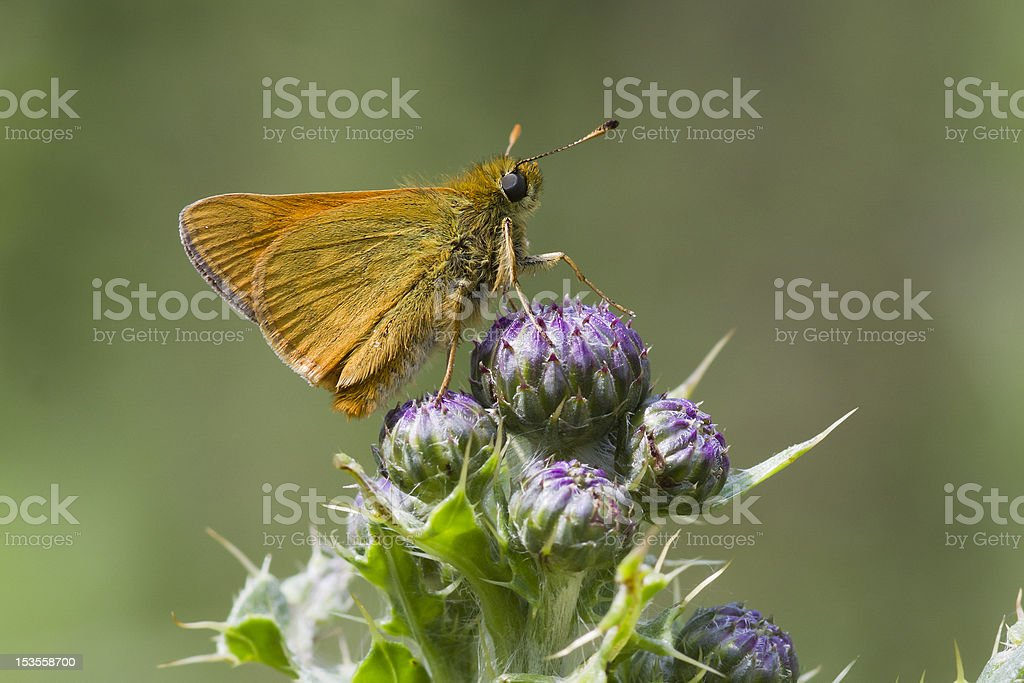 Small Skipper ( Thymelicus sylvestris ) royalty-free stock photo