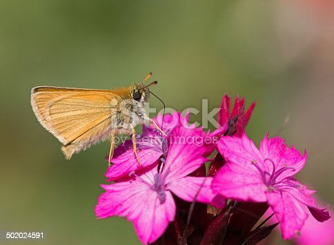 Small Skipper (Thymelicus sylvestris) on a Dianthus carthusianorum (Carthusian Pink).