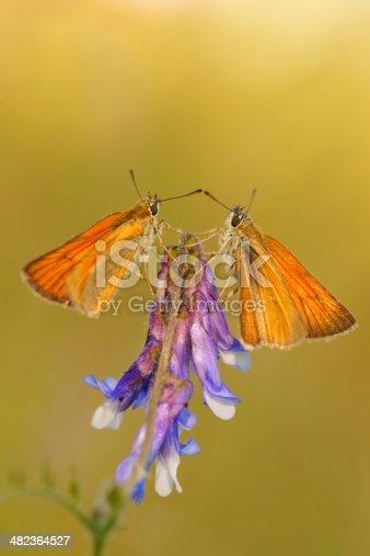 Small Skipper (Thymelicus sylvestris), two butterflies on purple flower