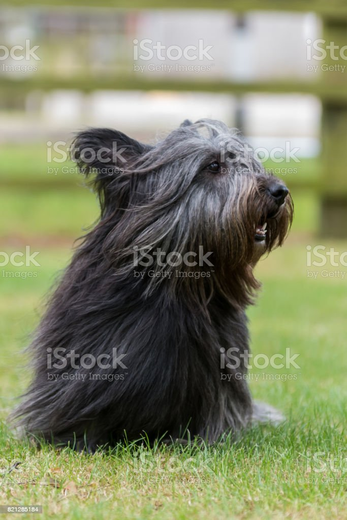 Small Skye Terrier sitting in a field stock photo