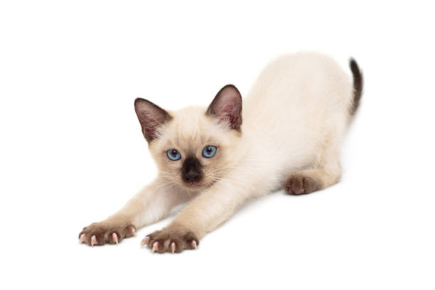 Small sleepy siamese kitten picture id1163203160?b=1&k=6&m=1163203160&s=612x612&w=0&h=qujdtlhtuaubvgbtd2cqfrbqhra3 ru7dy4eueep5n0=