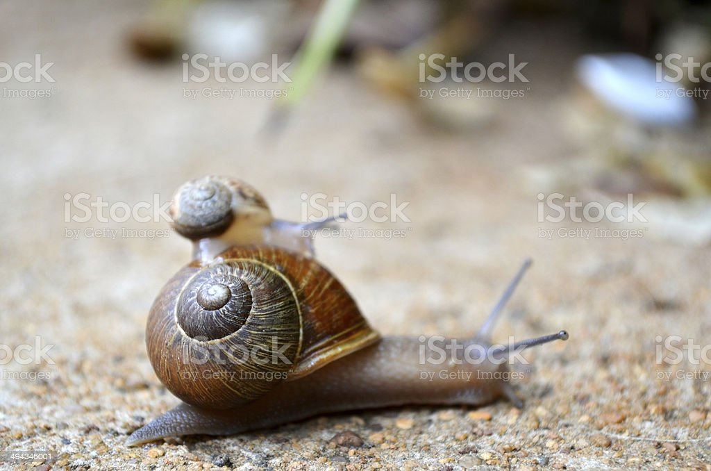 Small snail hitching a ride on a bigger snail stock photo