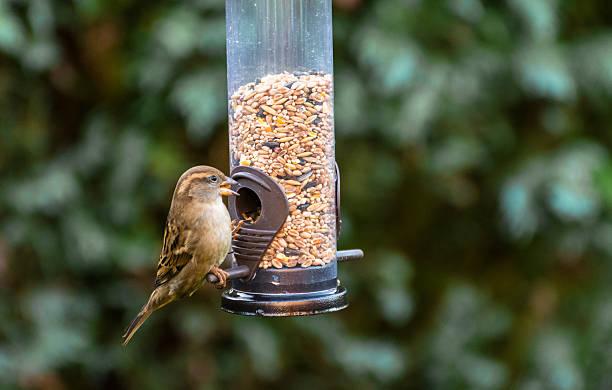 pequeno pássaro música candidíase alimentação no jardim de inverno. - song thrush imagens e fotografias de stock