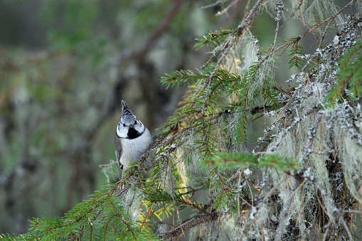 Small songbird European crested tit, Lophophanes cristatusperched on a spruce branch in wintery forest in Estonian nature, Northern Europe.