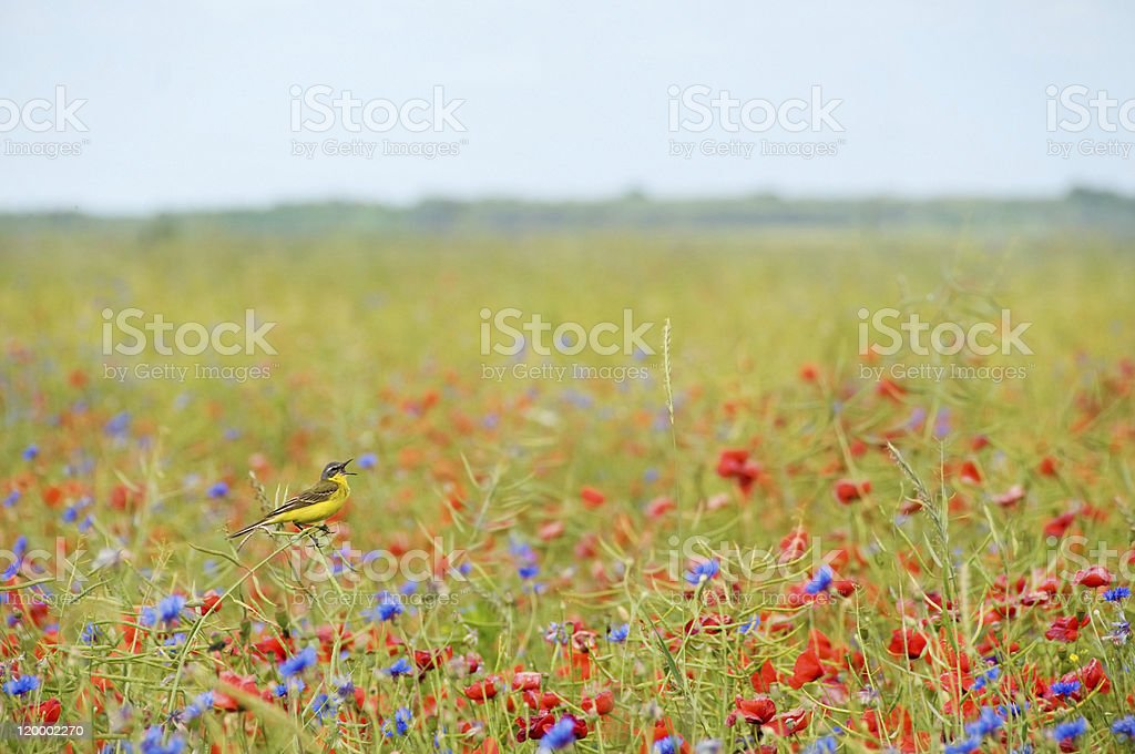 Small singing bird wagtail in wild cornflowers and poppies