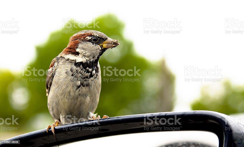 Small sparrow is cadging stock photo