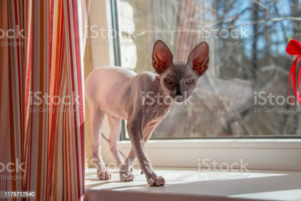 Small sphinx cat is playing at a window in the spring sunshine picture id1175712540?b=1&k=6&m=1175712540&s=612x612&h=hs9w9bfg7f muwj dqwgejwtf3qub71ytuzdlaakq2u=