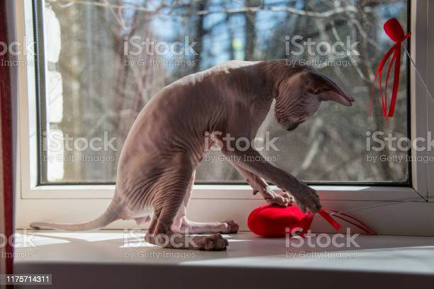 Small sphinx cat is playing at a window in the spring sunshine picture id1175714311?b=1&k=6&m=1175714311&s=612x612&h=w0jyhquyyccxy85rtqoiibquumdwxjr9svqvmam0xcw=