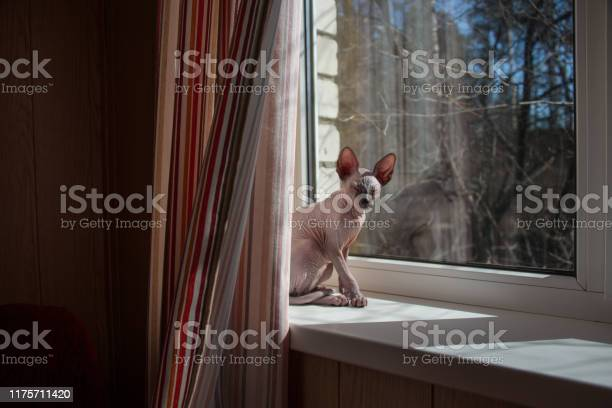 Small sphynx cat sitting by the window in the spring sunshine picture id1175711420?b=1&k=6&m=1175711420&s=612x612&h=shrea56tpmjrfb06l dusrnewcsnn0hajouxsdbg8se=