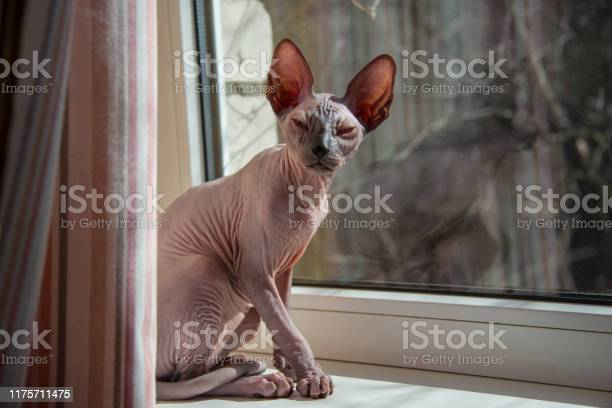 Small sphynx cat sitting by the window in the spring sunshine picture id1175711475?b=1&k=6&m=1175711475&s=612x612&h=blvp3f sivt1agksrrxlotzqcsoal4e ecdd1e hrss=