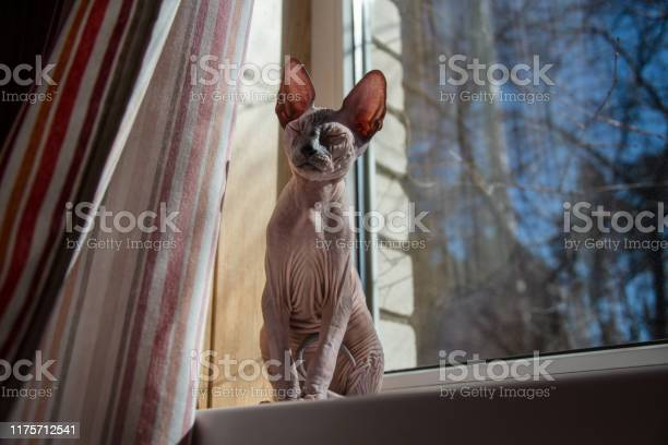 Small sphynx cat sitting by the window in the spring sunshine picture id1175712541?b=1&k=6&m=1175712541&s=612x612&h=yfygdx2ehwbvdikctg1al4mzca jfb29k83om8xxhty=