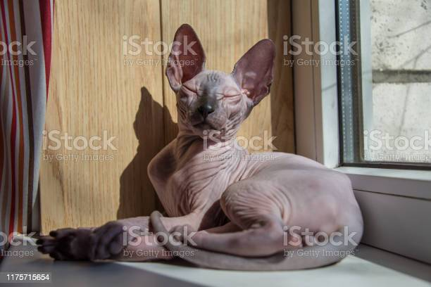 Small sphynx cat sitting by the window in the spring sunshine picture id1175715654?b=1&k=6&m=1175715654&s=612x612&h=auzgisaidp0dqofkzay9mohrm4ssar grrgl7ijqhjo=