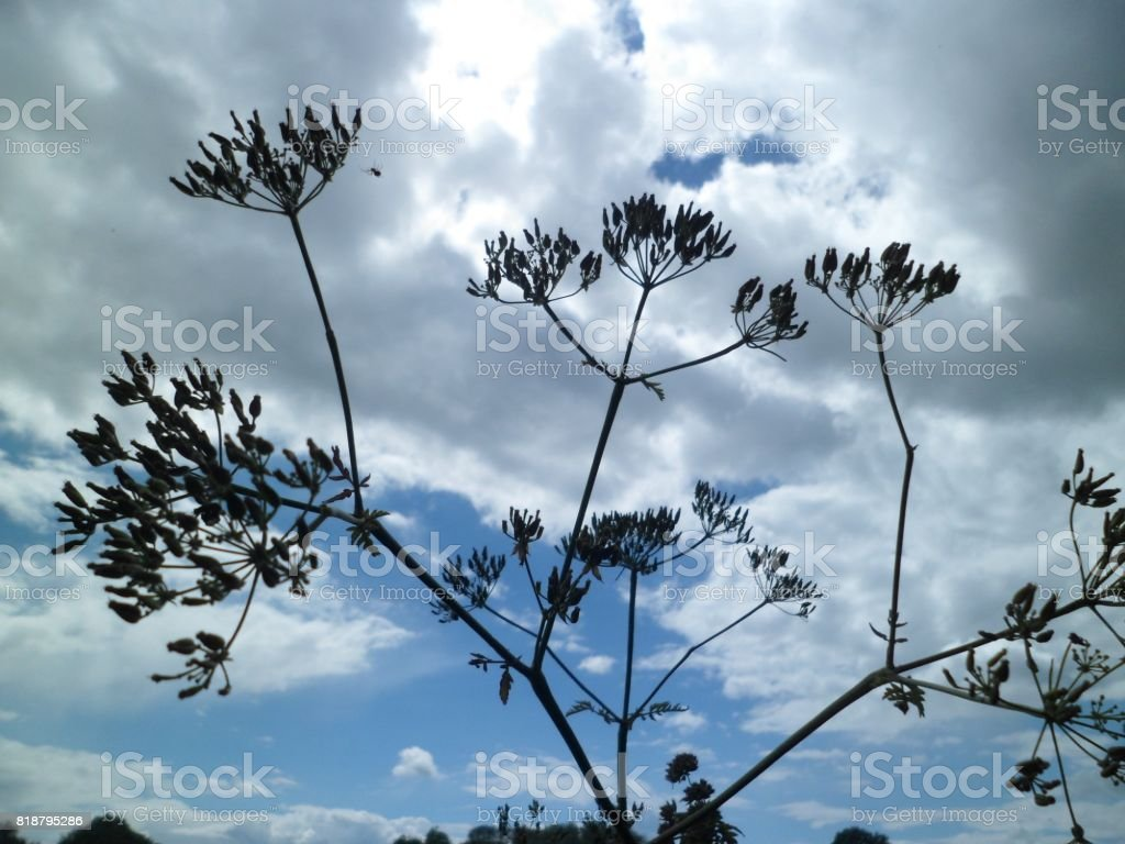 Small Spider Dangling From An Umbellifer Plant In Seed stock photo
