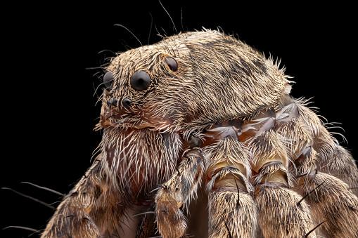 Spider under microscope on black