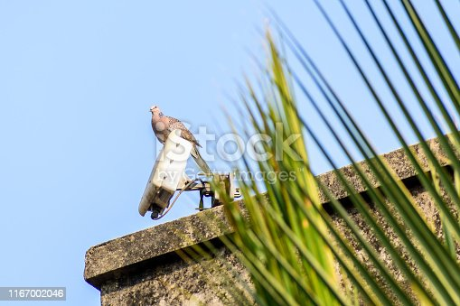 A small spotted dove (Spilopelia chinensis), a long tailed pigeon Plump bird, sitting on the roof of a house. Close Up.