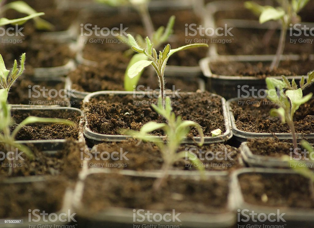 Small spring seedling sprouts in plant nursery royalty-free stock photo