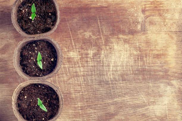 Kleine Sprüche Pfefferpflanze in einem Papiertöpfen auf einem Holzbrett, oben Ansicht – Foto