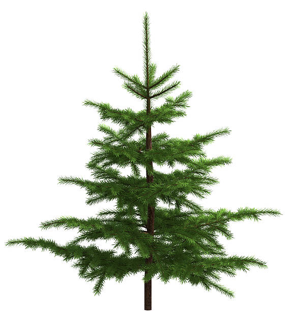 Small spruce Giant image! 7345x7752 px! fir tree stock pictures, royalty-free photos & images