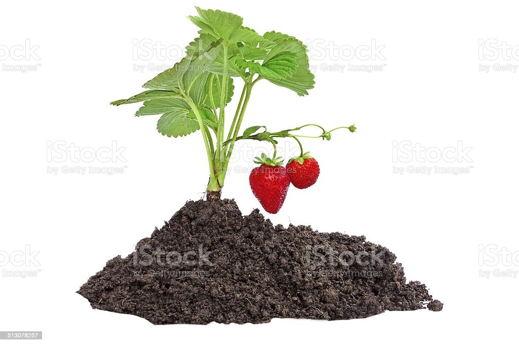 Small Strawberry Bush on earth stock photo