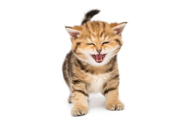 Small striped kitten breed british marble picture id898809960?b=1&k=6&m=898809960&s=612x612&w=0&h=zl2bk7y gysenjlailmc9qpivonqrujzvgsr azxuho=