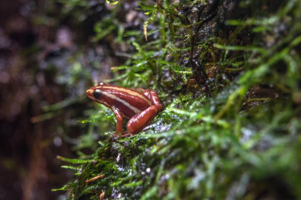 kleine gestreifte rote frosch - canda armband stock-fotos und bilder