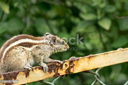 A small striped rodents marmots chipmunks squirrel monkey (sciurus fauna adorable creature) spotted on hunting mood sitting over rusty cage rod structure. Animal in captivity confinement background.