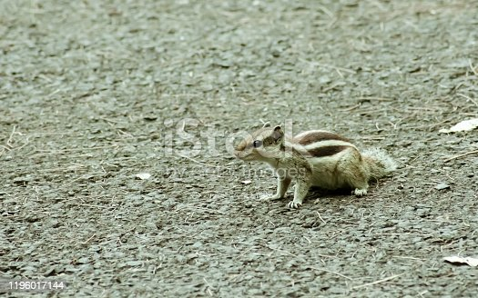Small striped rodents marmots chipmunks squirrel monkey (sciurus fauna adorable creature) spotted on hunting mood. Animal Wildlife nature wallpapers background picture. Animals in Wild behavior theme.