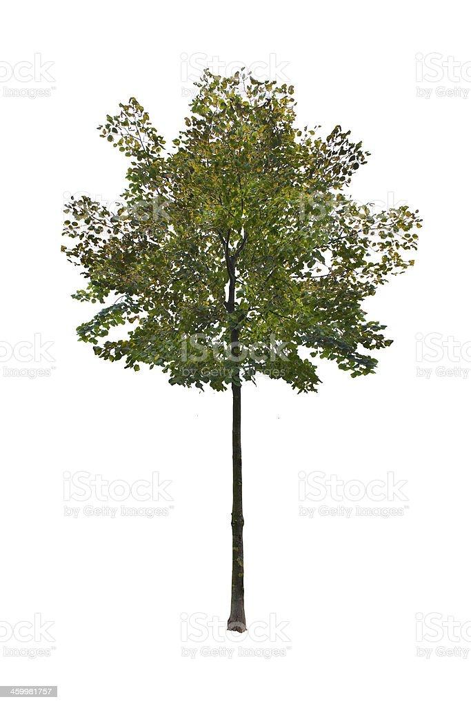 Small summer tree stock photo