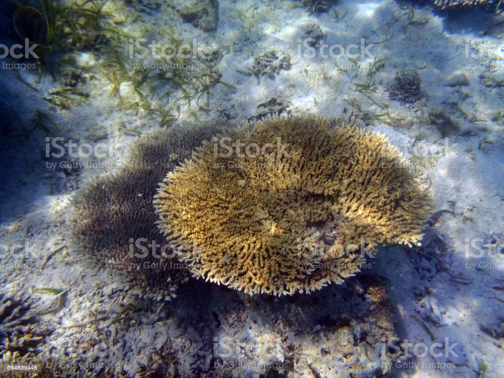 Small table coral stock photo