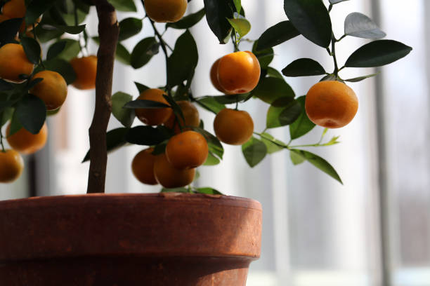 Small Tangerine Tree with Ripe Fruits Photographed in an Indoor Garden stock photo