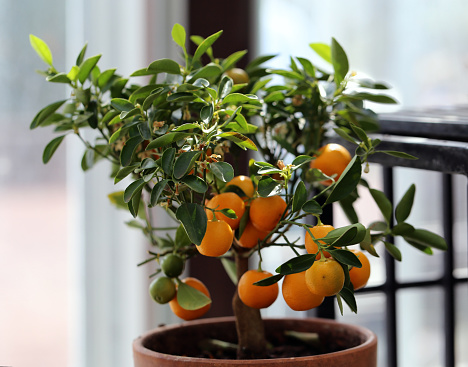 Small Tangerine Tree with Ripe Fruits Photographed in an Indoor Garden