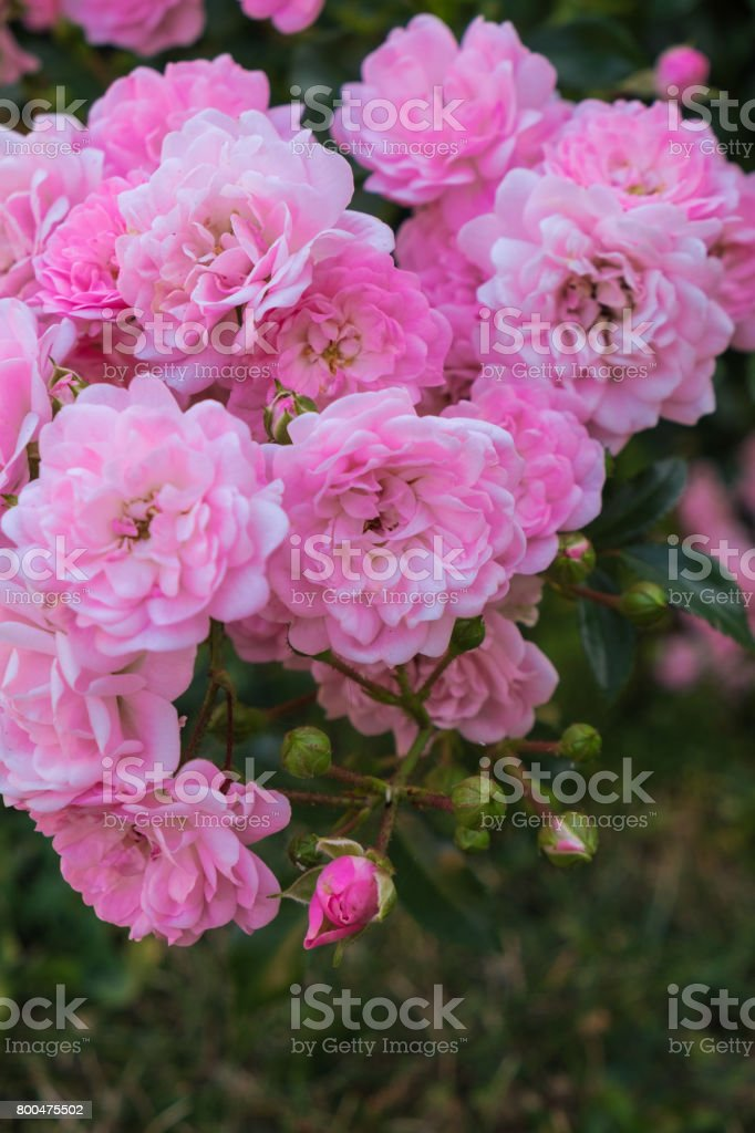 Small tea rose flowers stock photo