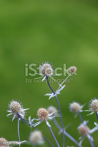 Small teasels thistles growing in the back garden. Focus on the plants .