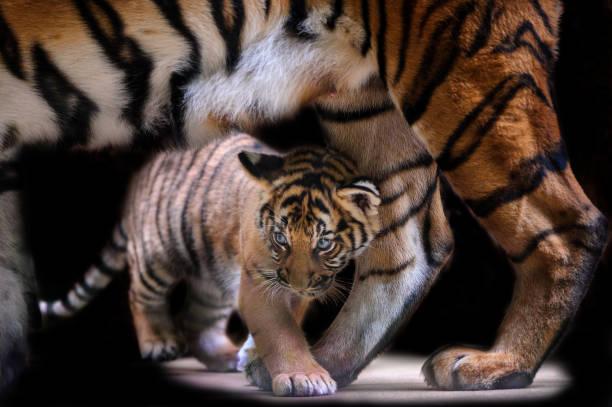 Kleine Tiger Cub unter Tiger Mutter Körper wandern – Foto