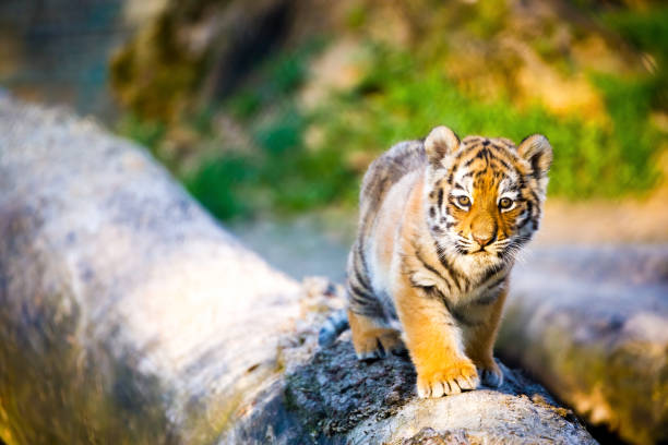 Kleiner Tiger – Foto