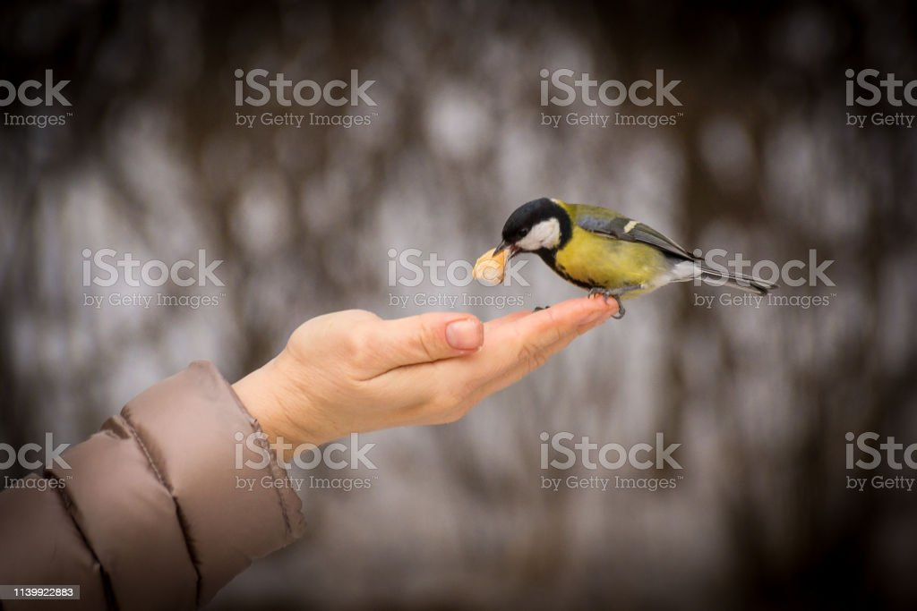 A small tit flying up takes food from his hand. Spring feeding birds....
