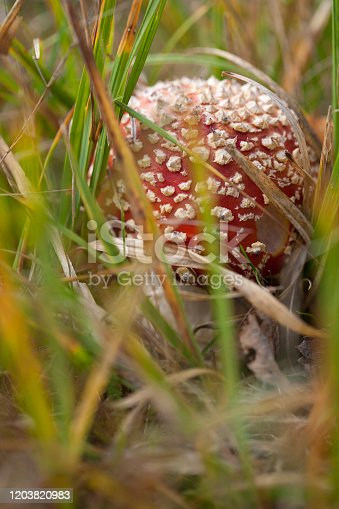 Small toadstool mushroom (Amanita muscaria) betwen grass in the forest