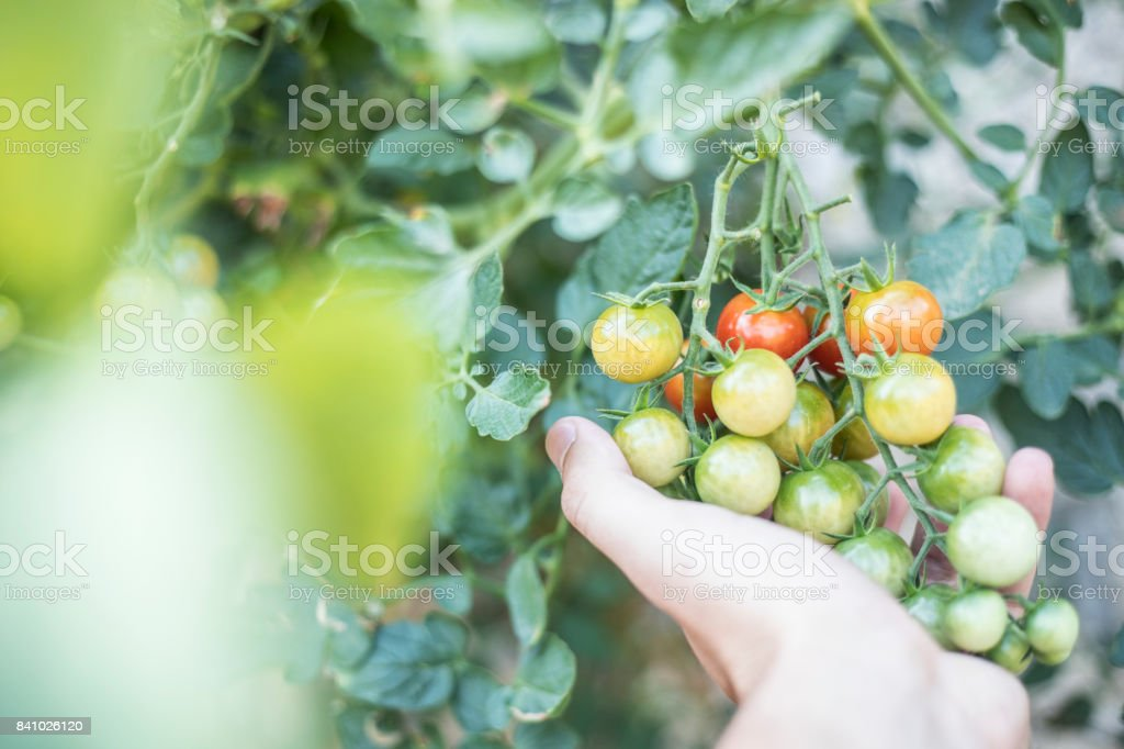 Small tomatoes stock photo