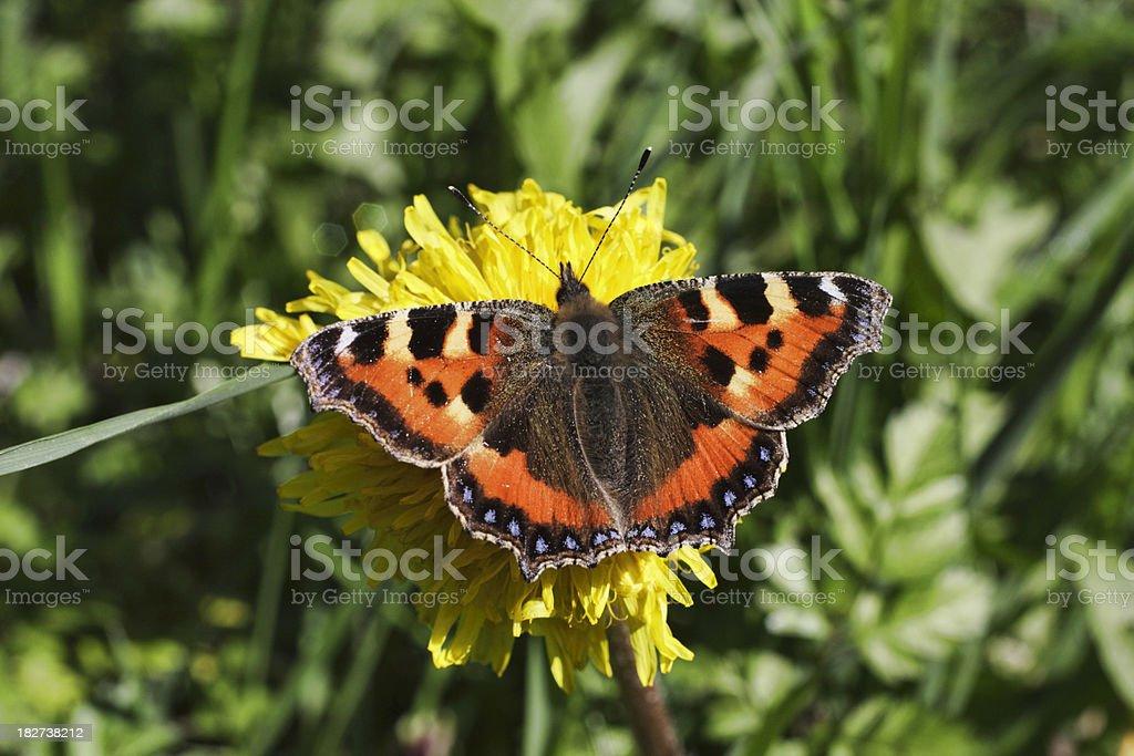 Small tortoiseshell butterfly Aglais urticae on yellow dandelion flower royalty-free stock photo