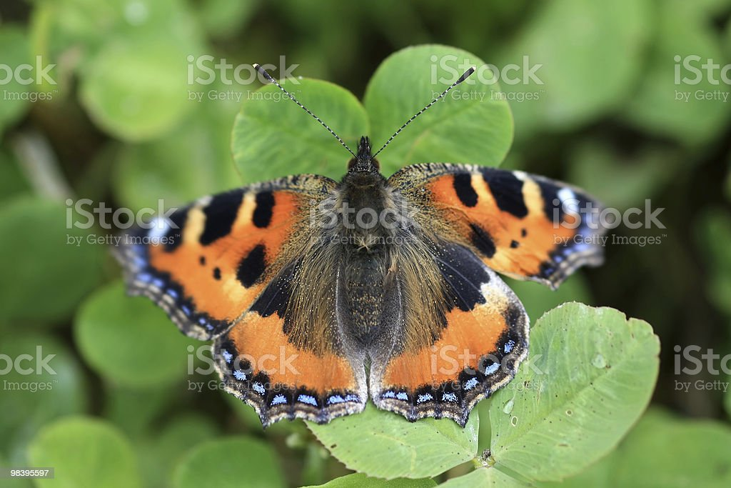 Small Tortoiseshell Butterfly  - Aglais Urticae royalty-free stock photo