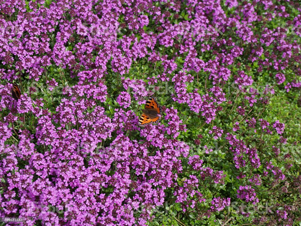 Small tortoiseshell butterfly, bed of thyme stock photo