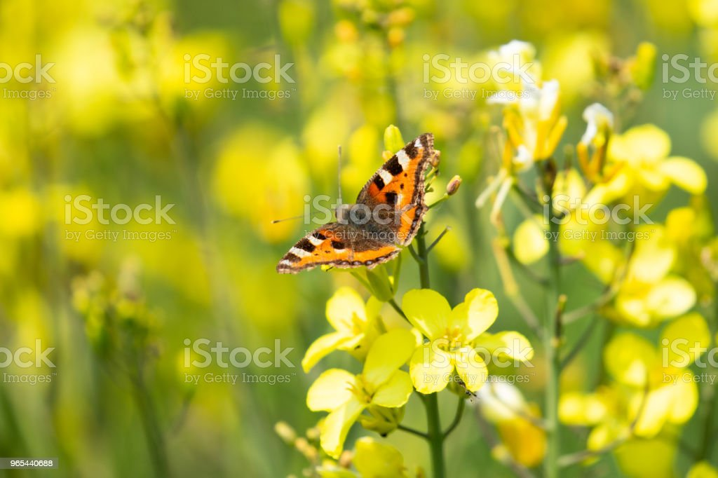 Small Tortoiseshell Butterfly (aglais urticae) in beautiful yellow wildlflowers zbiór zdjęć royalty-free
