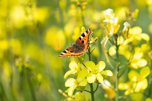 아름 다운 노란 Wildlflowers에 작은 별 갑 나비 곤충에 대한 스톡 사진 및 기타 이미지